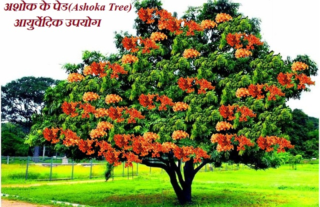 अशोक के पेड Ashoka Tree