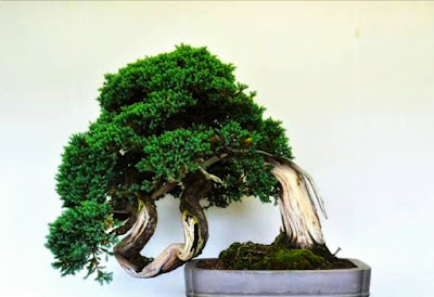 teknik membuat bonsai