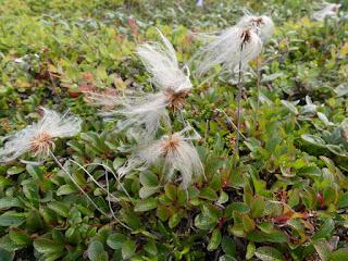 Dryade à feuilles entières - Dryas integrifolia