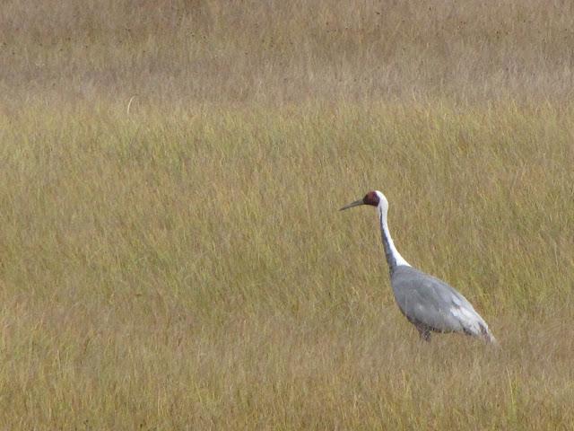 A Siberian white naped crane.