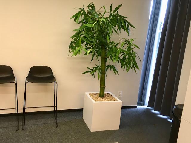 bamboe soortenkamerplant kopen of huren voor bedrijf event feest kantoor in Limburg. Brussel Antwerpen gent