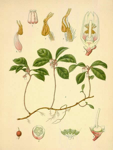 Wintergreen and its parts