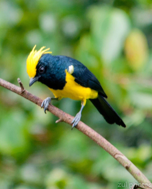 Zul Ya - Birds Of Peninsular Malaysia December 2011-7078