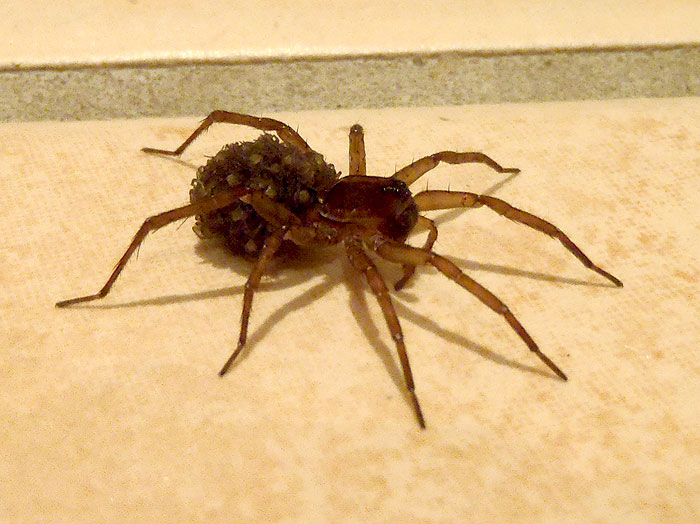 an analysis of the spider species and their toxicity Researchers have sequenced full genomes of three species—the golden  the  analyses are highlighting the tangled paths of spider evolution, bringing into  focus  called ogre-faced spiders because of their looks, these gangly  arachnids  critics pan epa plan for evaluating studies of toxic chemicals.