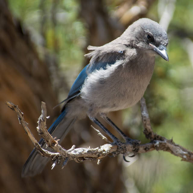 Immature Scrub Jay, Grand Canyon