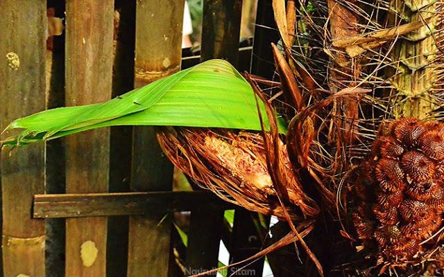 Selesai proses pengawinan harus ditutupi dengan daun pisang agar tidak kena hujan