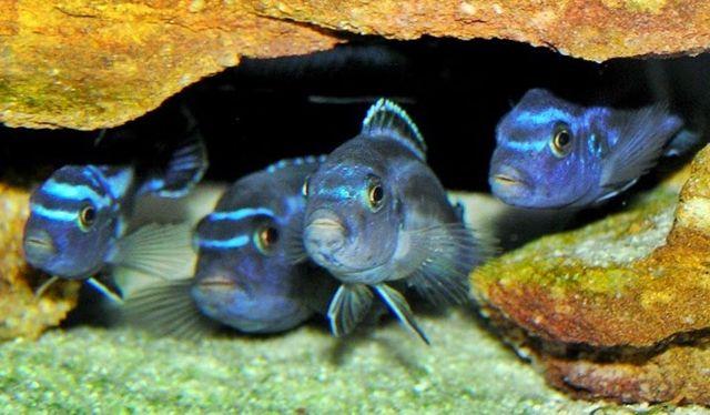 Cara Memelihara Ikan Cichlid Afrika