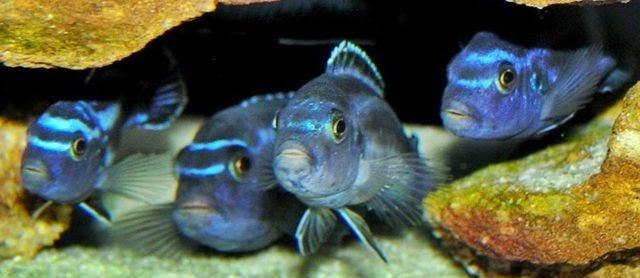 Ini Dia Jenis dan Cara Memelihara Ikan Cichlid Afrika Maingano