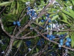 Pohon Jenitri