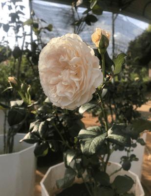 Hoa hồng 12