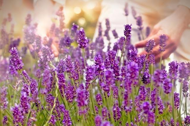 Bunga lavender berwarna ungu