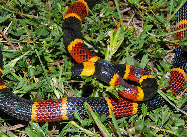 Eastern Coral Snake - Facts, information and pictures 3