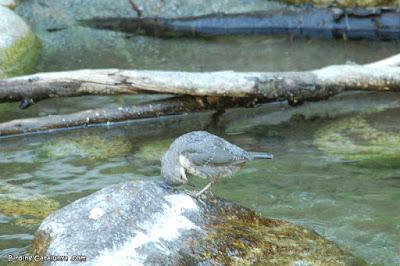 Merla d'aigua (Cinclus cinclus)