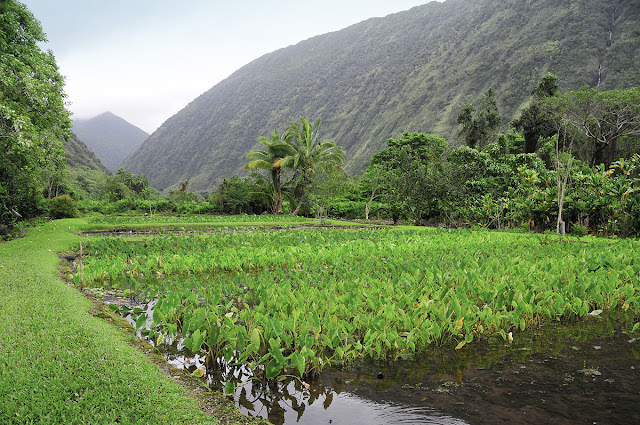 taro fields waipio valley big island hawaii