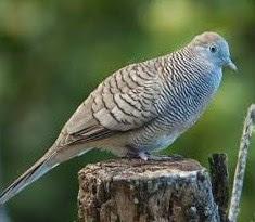 Solusi Dan Cara Akurat Merawat Burung Perkutut Mabung Yang Sudah Terbukti