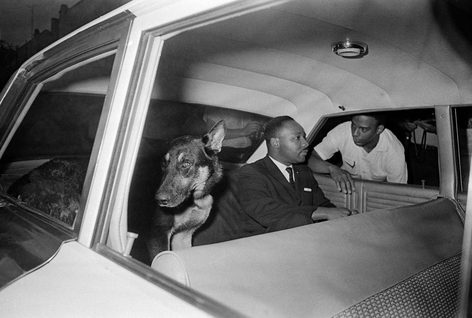 Andrew Young leans into a police car to talk to Dr. Martin Luther King, Jr. in the back seat with a police dog as he is returned to jail in St. Augustine, Florida, after testifying before a grand jury investigating racial unrest in the city on June 12, 1964.