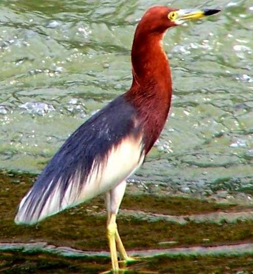 Indian birds - Chinese pond heron - Ardeola bacchus