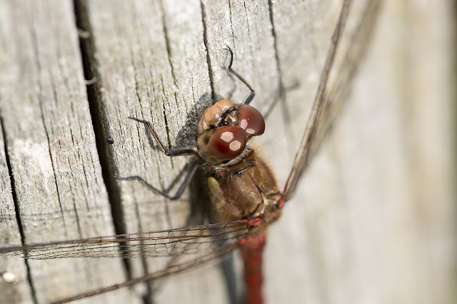 A close up of a Common Darters face