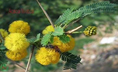acacia nilotica flower, acacia nilotica