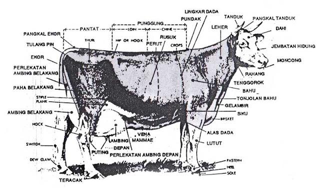 Gambar bagian-bagian dari sapi perah  judgung sapi