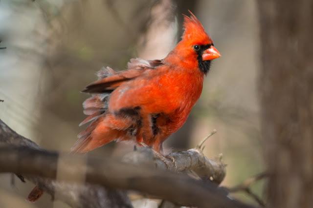 Northern Cardinal, Colleyville Nature Center