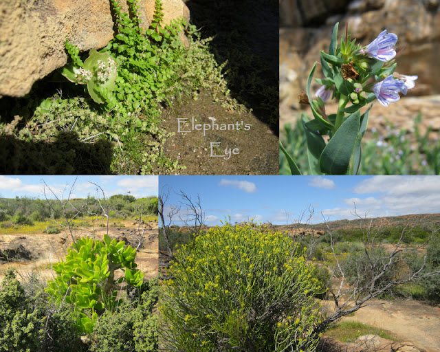 Garden inspiration at Sevilla near Clanwilliam in the Cederberg Crassula, Lobostemon,  Tylecodon, Euphorbia August 2014