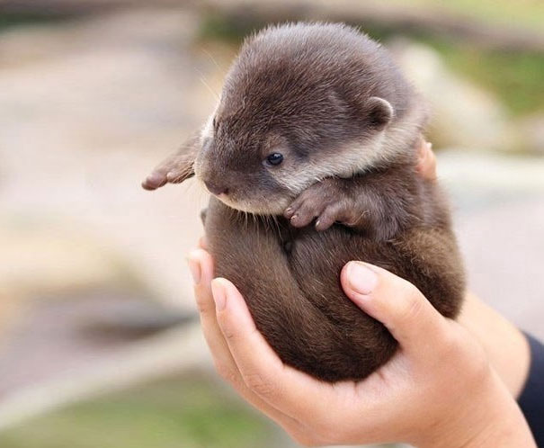 Baby Animals: Baby Otter