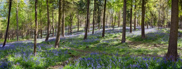 Bluebell wood panoramic in Warwickshire By Martyn Ferry Photography