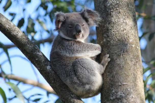 Can you teach a koala new tricks?