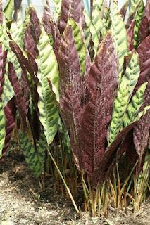 Calathée à feuilles lancéolées - Calathea lancifolia - Calathea insignis