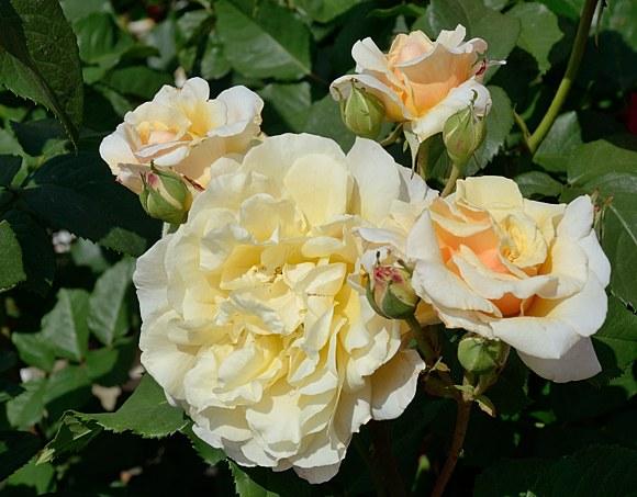 Caramella сорт розы фото купить саженцы Минск питомник