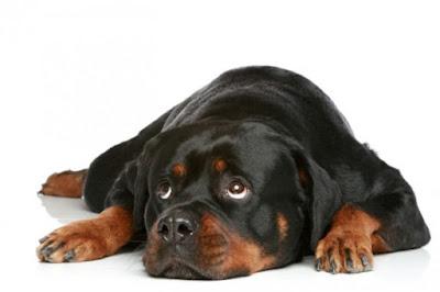 Rottweiler down