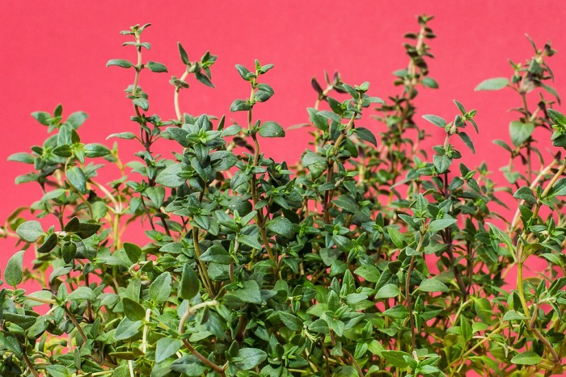 mildew-fighing-thyme-plants