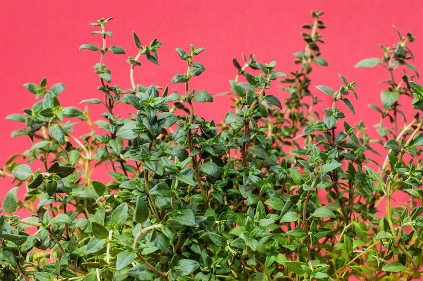 mildew-fighing-thyme-plants.jpeg