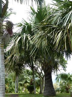 Palmiste poison - Palmier bâtard - Palmiste cochon - Hyophorbe indica