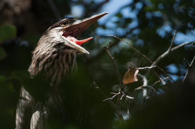 Juvenile Black-crowned Night-Heron, UT Southwestern Rookery