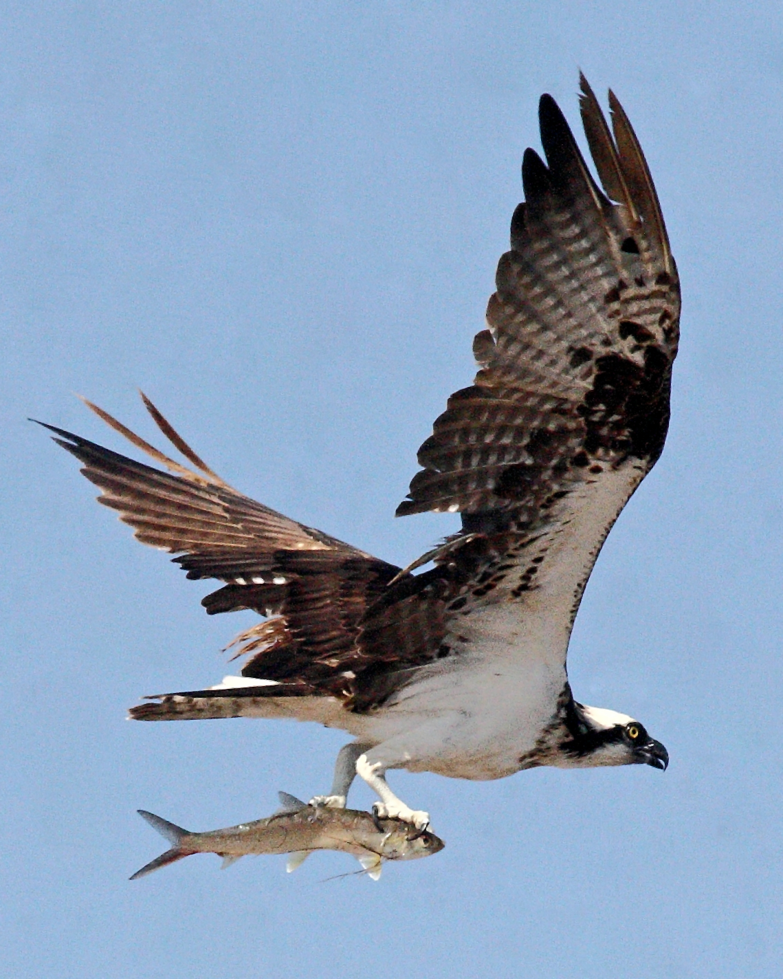 Wild birds unlimited osprey bird for Fish hawk bird
