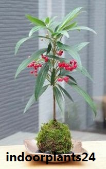 Ardisia crenata Myrsinaceae indoor plant