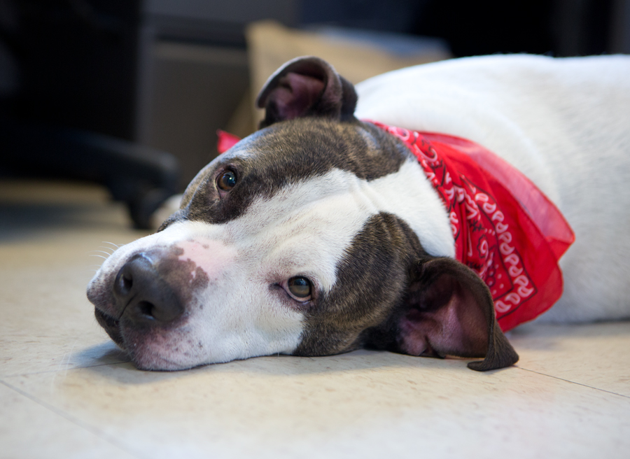 Good Pitbull Chubby Adorable Dog - humphrey5  Picture_711389  .jpg