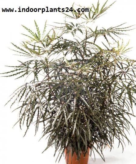 Dizygotheca Elegantissima INDOOR PLANT