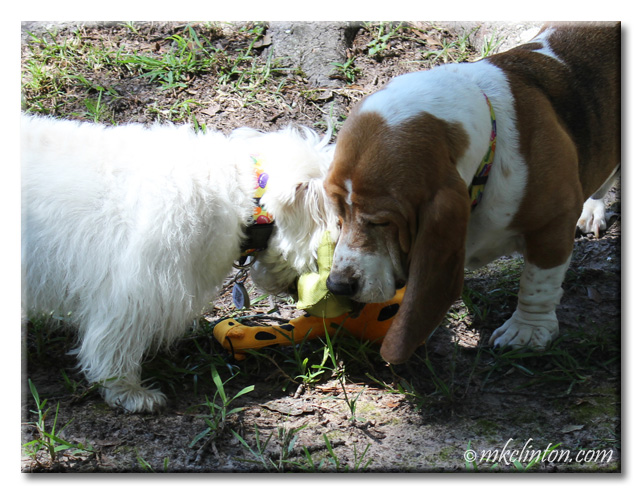 Bentley Basset & Pierre Westie playing with BeCO toys