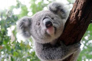 Caracteristicas del koala