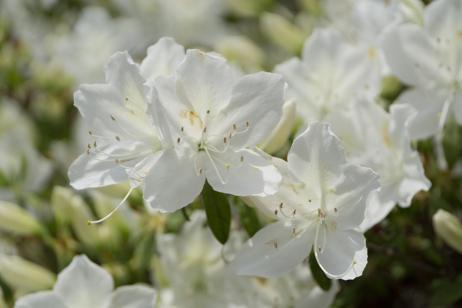 白琉球の風に踊り出す花