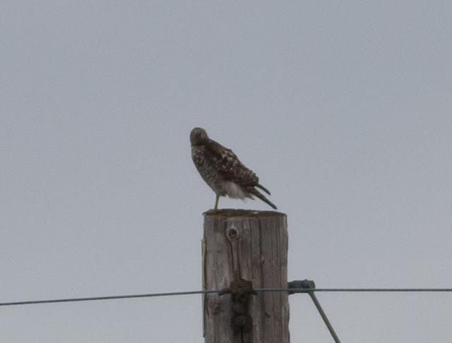 Hawk sp - Orlando, Florida