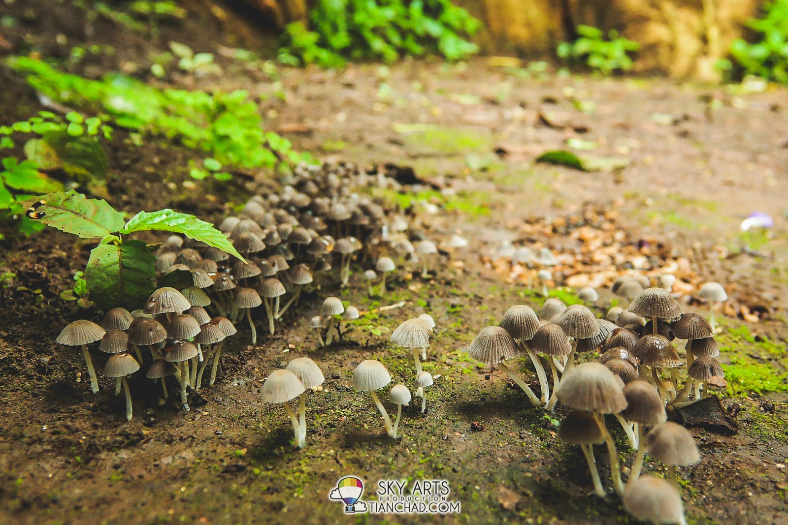 Cute mushrooms blooming after rain @ Qing Xin Ling