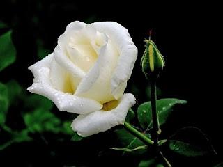 gambar bunga mawar indah 11