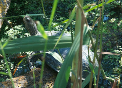Caspian Turtle (Mauremys caspica)