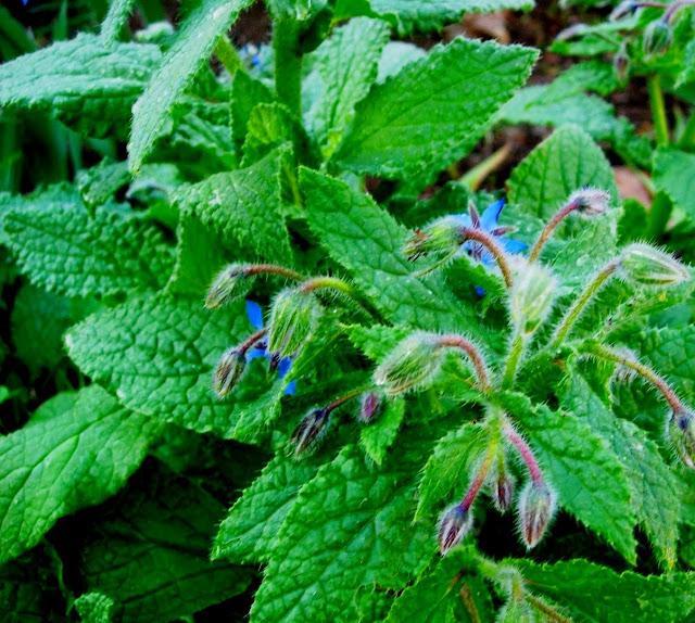 companion plant borage
