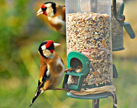 9 Makanan Burung Kenari Yang Bagus Biar Cepat Gacor