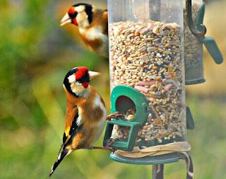 makanan untuk burung kenari biji bijian
